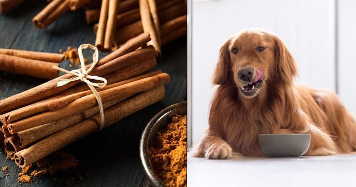 Can Dogs Actually Have Cinnamon: Is It Safe & Are There Any Benefits?